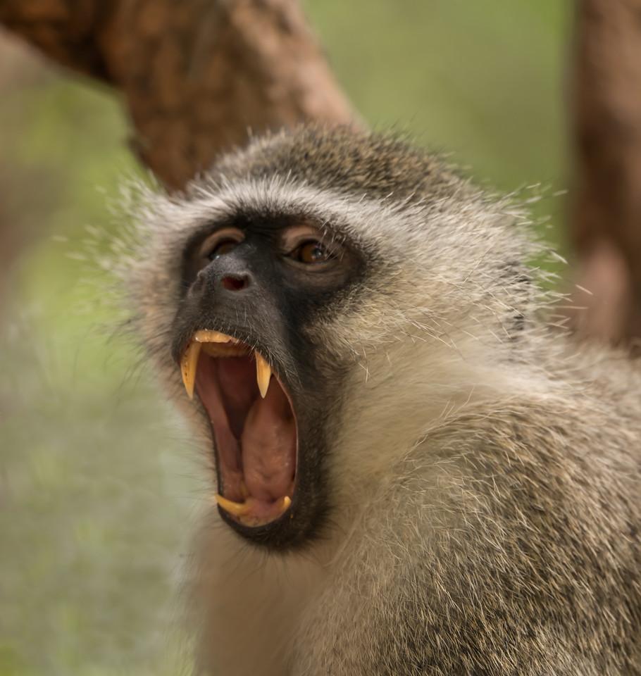 Vervet Monkey For Sale South Africa South African Vervet Monkey